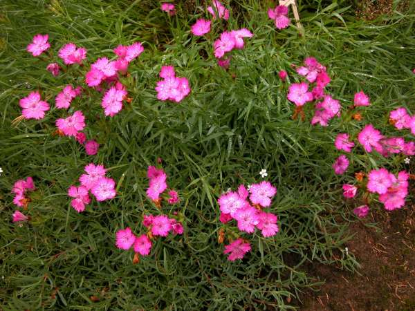 Dianthus collinus Waldst. & Kit.