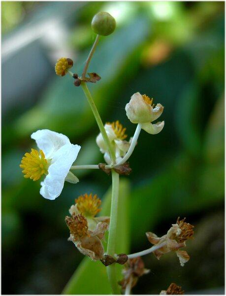 Sagittaria sagittifolia L.