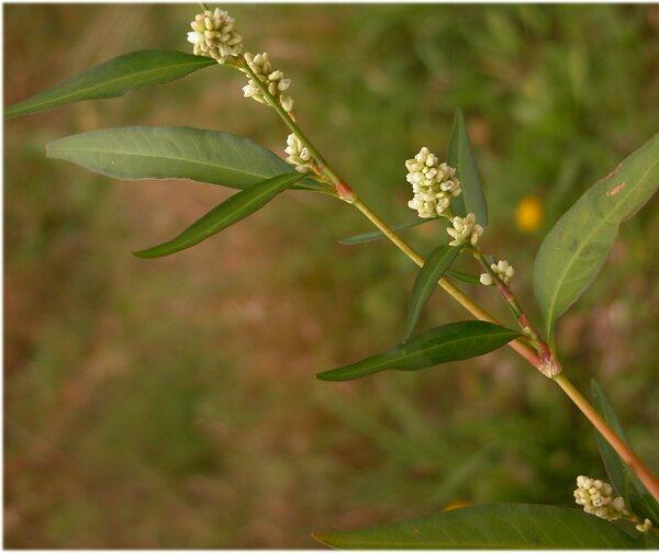Persicaria lapathifolia (L.) Delarbre subsp. pallida (With.) Á.Löve