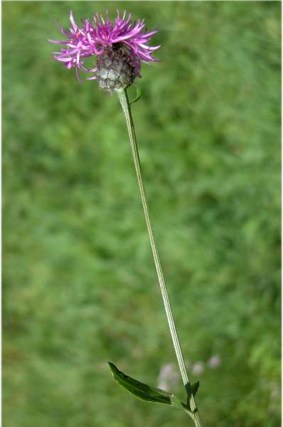 Centaurea scabiosa L. subsp. alpestris (Hegetschw.) Nyman