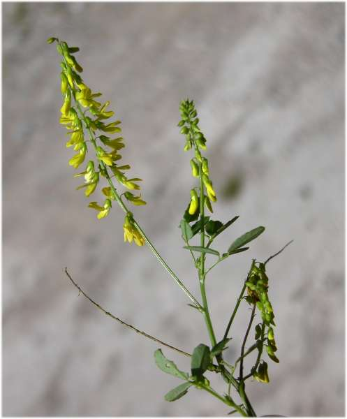 Trigonella officinalis (L.) Coulot & Rabaute