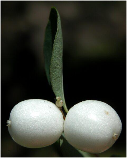 Symphoricarpos oreophilus Gray