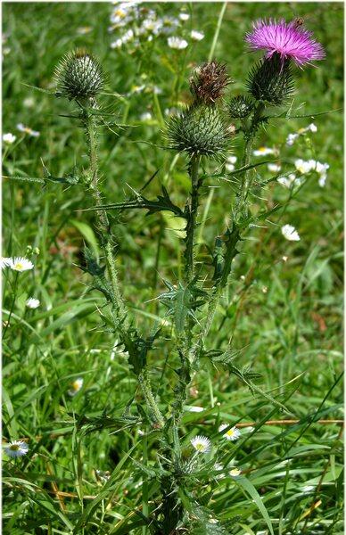 Carduus acanthoides L.