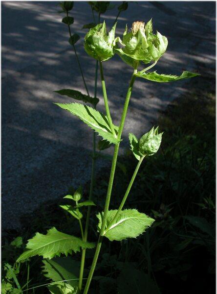 Cirsium oleraceum (L.) Scop.