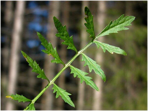 Rorippa sylvestris (L.) Besser subsp. sylvestris