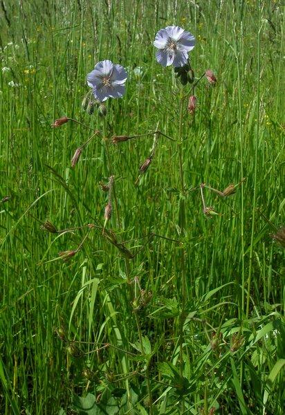Geranium phaeum L. subsp. lividum (L'Hér.) DC.