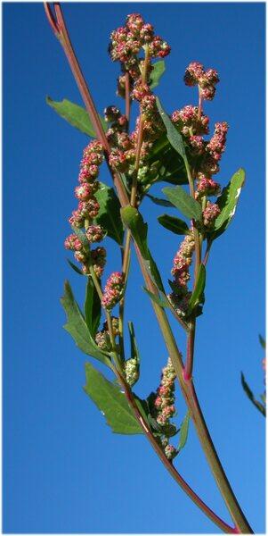 Chenopodium betaceum Andrz.