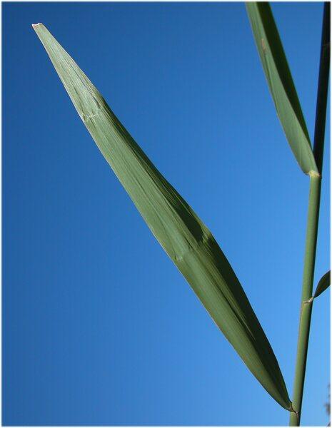 Phragmites australis (Cav.) Trin. ex Steud. subsp. australis