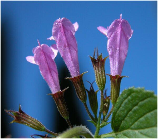 Clinopodium menthifolium (Host) Merino subsp. ascendens (Jord.) Govaerts