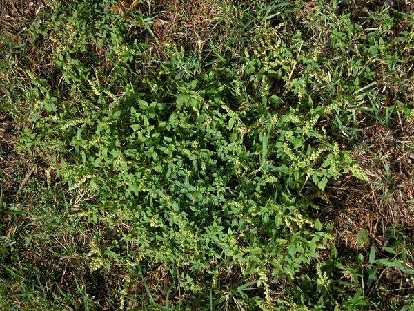 Amaranthus deflexus L.