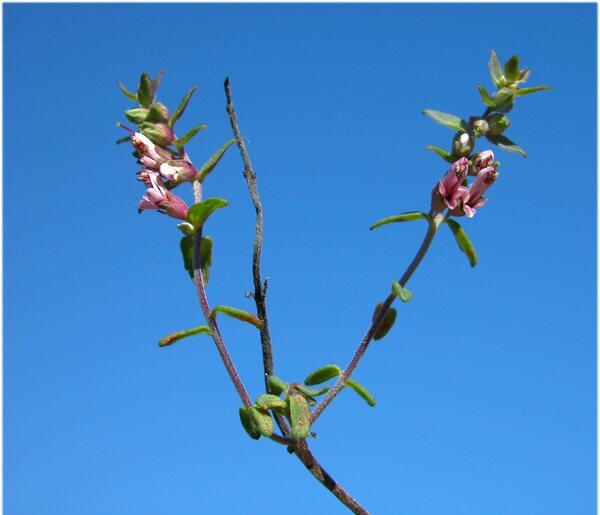 Odontites vernus (Bellardi) Dumort. subsp. serotinus Corb.