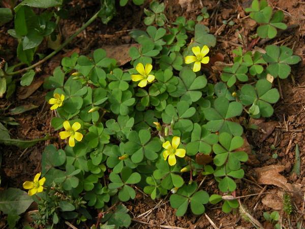 Oxalis corniculata L.