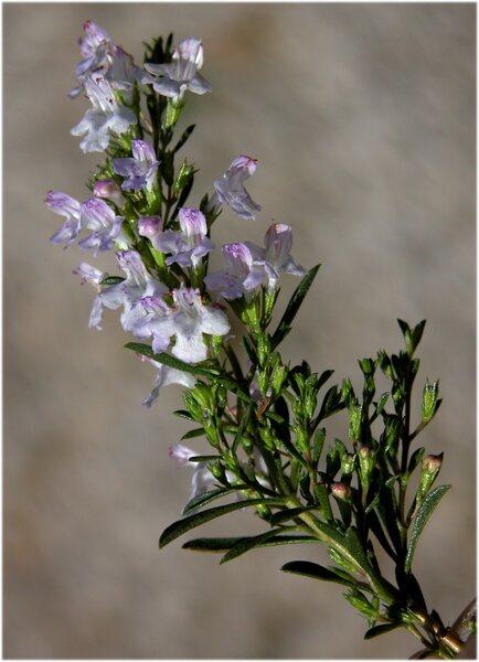 Satureja montana L. subsp. variegata (Host) P.W.Ball