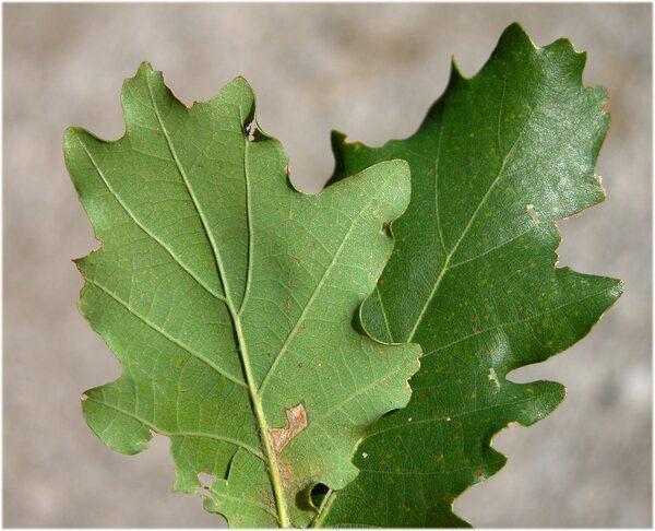 Quercus petraea (Matt.) Liebl. subsp. petraea