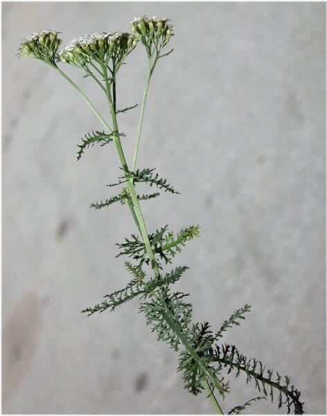 Achillea collina (Becker ex Wirtg.) Heimerl