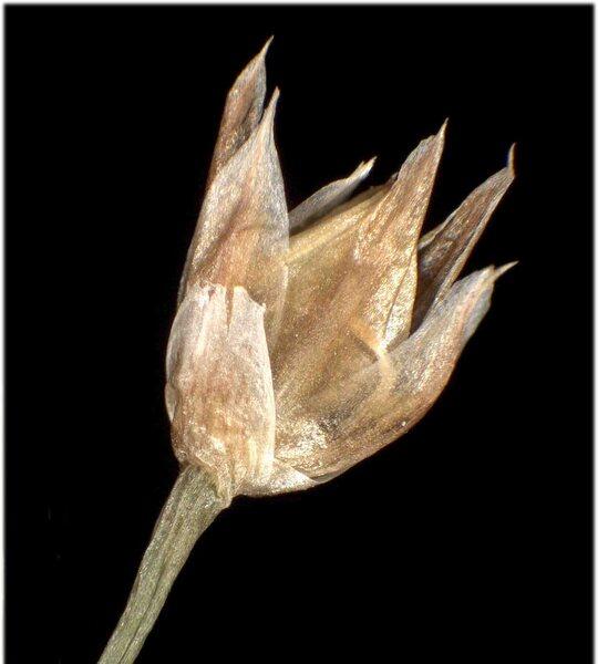 Luzula luzulina (Vill.) Racib.