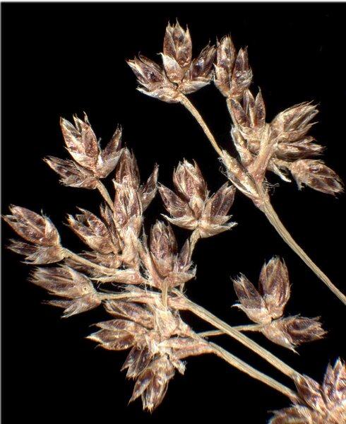 Luzula sylvatica (Huds.) Gaudin s.l.