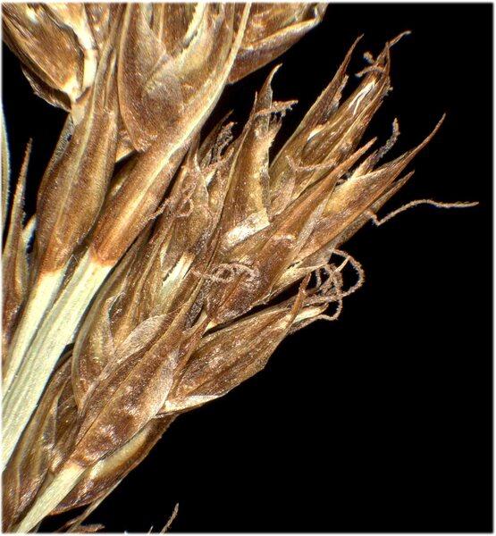 Carex appropinquata Schumach.