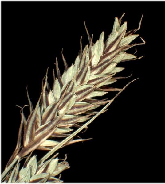 Carex buxbaumii Wahlenb.
