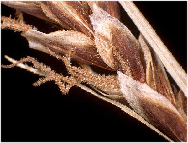 Carex flacca Schreb. subsp. erythrostachys (Hoppe) Holub