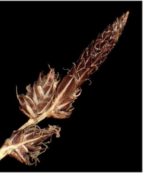 Carex fritschii Waisb.