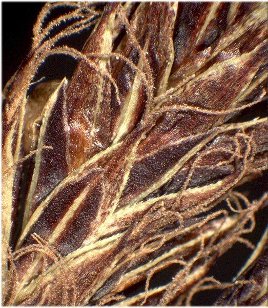 Carex fuliginosa Schkuhr subsp. fuliginosa