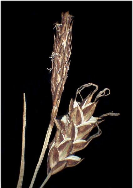 Carex limosa L.