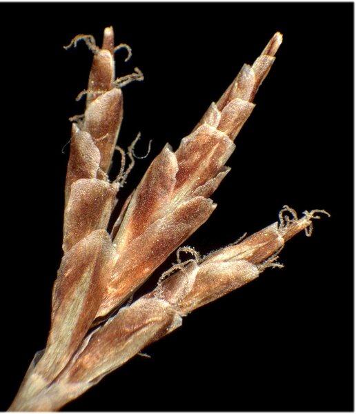Carex ornithopoda Willd.