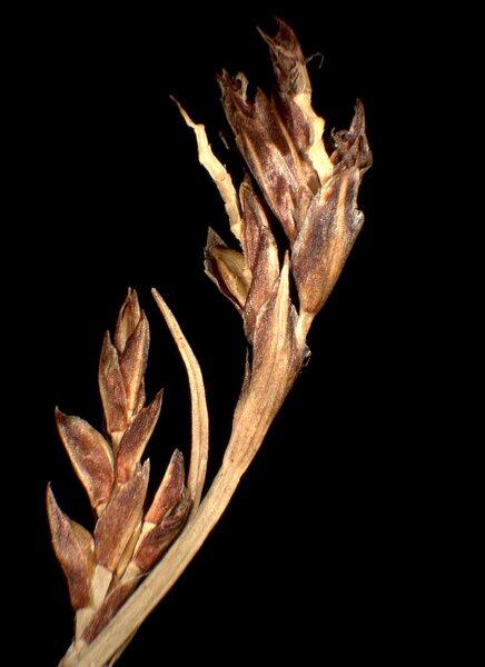Carex ornithopodioides Hausm.