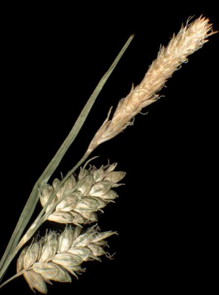 Carex pallescens L.