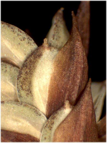 Carex magellanica Lam. subsp. irrigua (Wahlenb.) Hiitonen