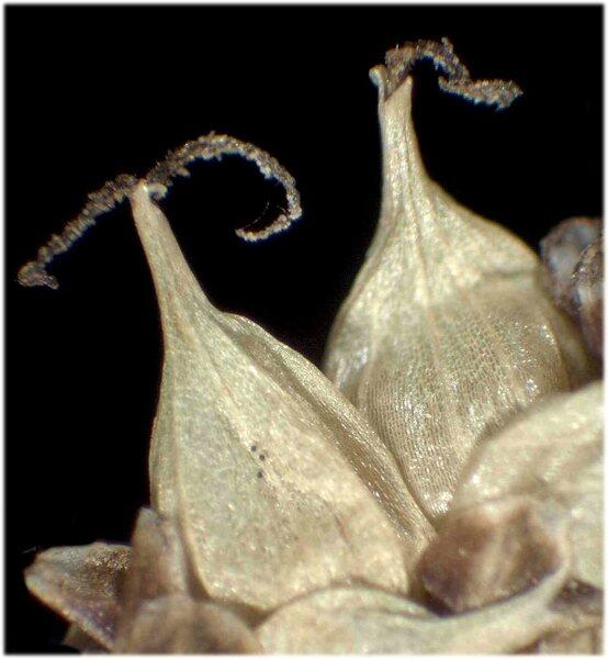 Carex rostrata Stokes