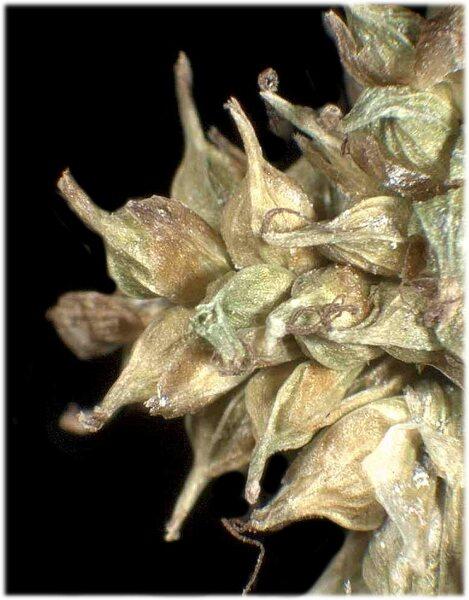 Carex viridula Michx.
