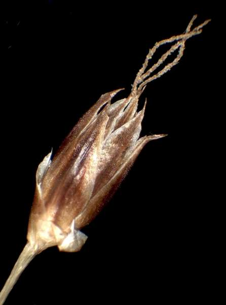 Luzula forsteri (Sm.) DC.