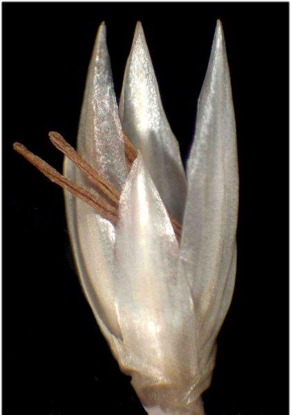 Luzula nivea (Nathh.) DC.