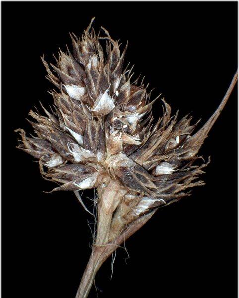 Luzula sudetica (Willd.) Schult.