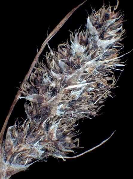 Luzula spicata (L.) DC. subsp. conglomerata (W.D.J.Koch) Murr