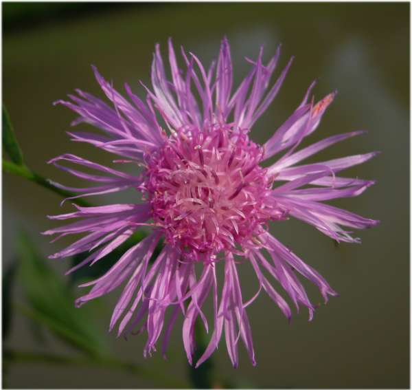 Centaurea nigrescens Willd.