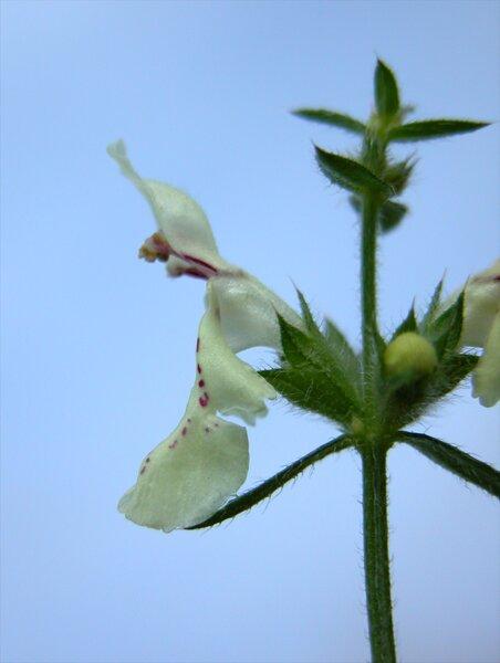 Stachys recta L. subsp. subcrenata (Vis.) Briq.