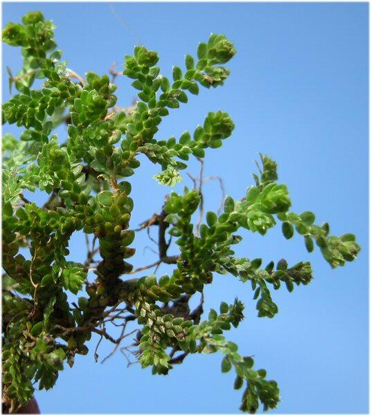 Selaginella helvetica (L.) Spring