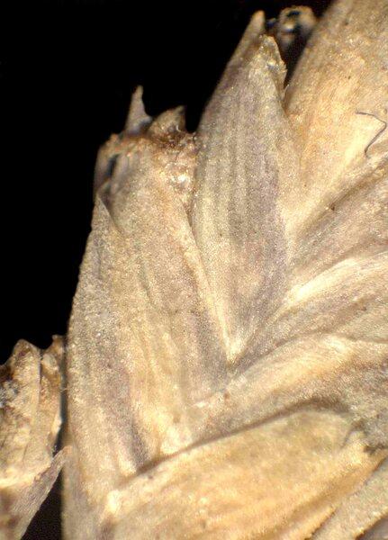 Aeluropus littoralis (Gouan) Parl. subsp. littoralis