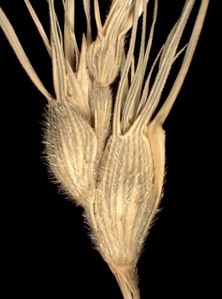 Triticum neglectum (Req. ex Bertol.) Greuter