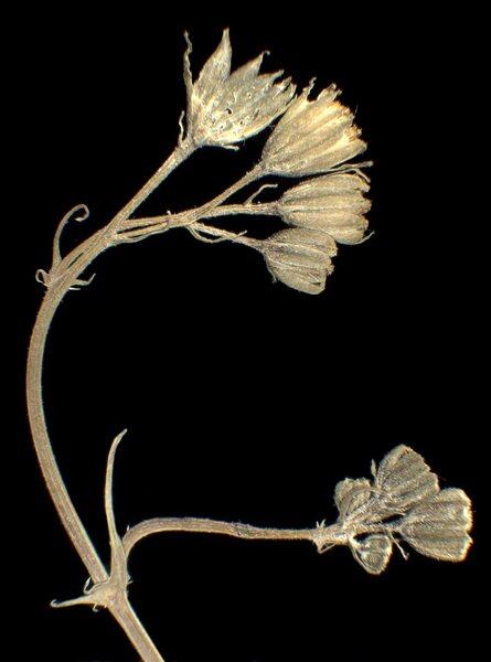 Crepis setosa Haller f.