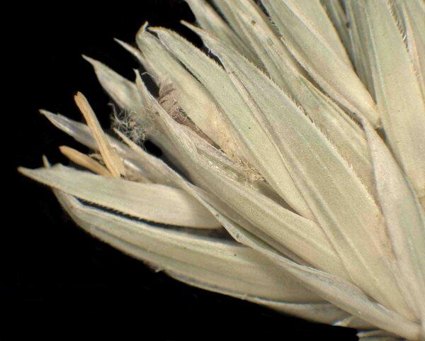 Dactylis glomerata L. subsp. glomerata