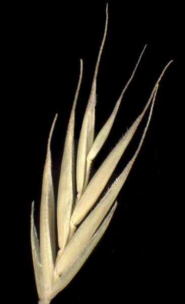 Festuca stricta Host subsp. sulcata (Hack.) Patzke ex Pils