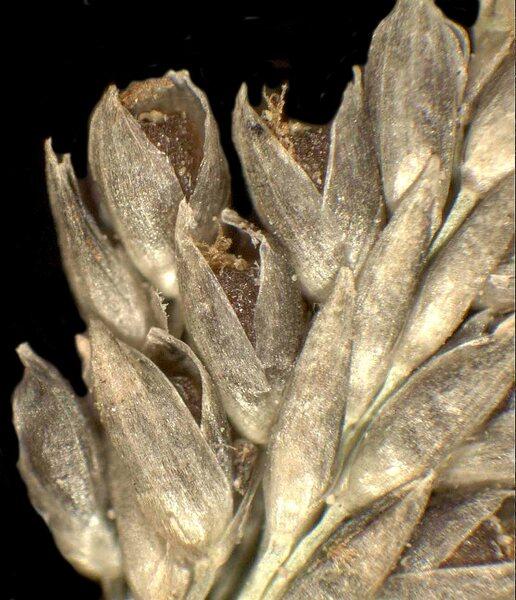 Sporobolus indicus (L.) R.Br.