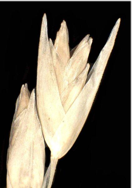 Danthonia decumbens (L.) DC. subsp. decumbens