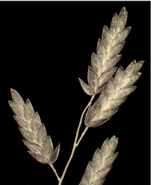 Eragrostis minor Host subsp. minor