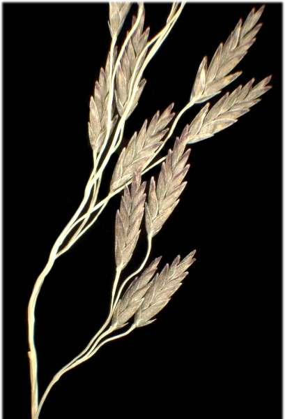 Eragrostis pilosa (L.) P.Beauv. subsp. pilosa
