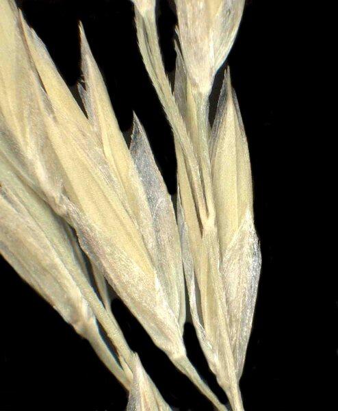 Leucopoa spectabilis (Jan ex Bertol.) H.Scholz & Foggi subsp. spectabilis